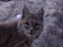 Name:  Bob cat close.jpg Views: 114 Size:  35.9 KB