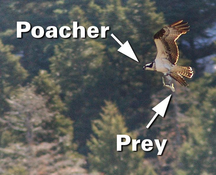 Click image for larger version  Name:osprey.jpg Views:118 Size:397.9 KB ID:1213